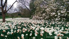 Places To See Daffodils In Surrey, Hampshire And West Surrey Sussex Hampshire Further Afield – Places To See Wild Buckinghamshire Kent Welsh 2017 Daffodil Events Daffodils are such cheerful flowers, heralding the start of springtime,… Sussex Gardens, Kew Gardens, Botanical Gardens, Forest Garden, Garden In The Woods, Orange Flowers, White Flowers, Savill Garden, Daffodils Planting