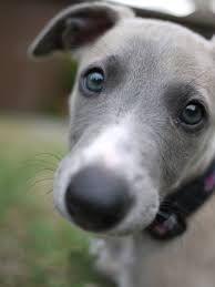grey whippet dog -