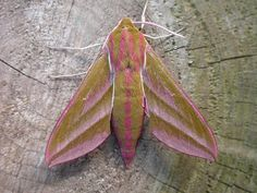 Elephant hawk moth (Deilephila elpenor) --found the remarkable late instar caterpillar for this moth in my garden this morning! What a magnificent, if rather shocking, find! Relying on my zoological guru, Joshua Yu, to instruct me on raising this beauty.