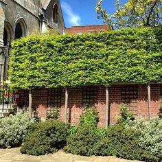 Les arbres taillés en rideau permettent de créer un brise vue en hauteur. C'est un bon complément à un mur ou à une haie. Attention néanmoins à la réglementation concernant la distance entre la plante et le bord de votre propriété. Pour aller plus loin : - les arbres en rideaux : http://www.amenagementdujardin.net/soyez-originaux-avec-les-formes-des-arbres/ - la législation : http://www.amenagementdujardin.net/toute-la-reglementation-concernant-le-jardin/