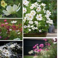 cosmos-collage-gardenista