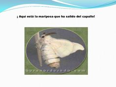 Power point gusanos de seda Pets, Animals, Life Cycles, Animales, Animaux, Animal, Animais, Animals And Pets