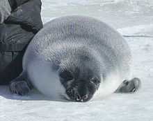 Hooded seal - Wikipedia, the free encyclopedia