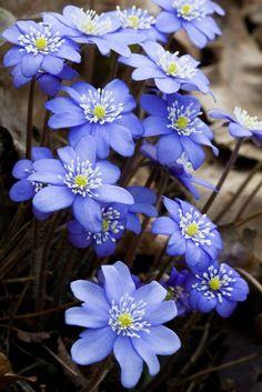Hepatica nobilis jaterník podléška
