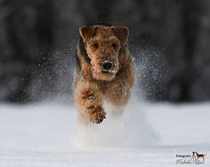 Finley Airedale (@finleyairedale)