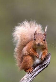 Red Squirrel (by Pete Walkden)