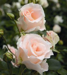 Pensasruusu Rokoko Clematis Florida, Creator Of The Universe, Shrub Roses, Rose Perfume, David Austin, Beautiful Roses, Shrubs, Garden Design, Bloom