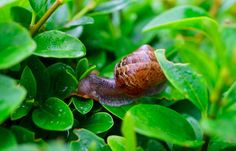 Got Snails In Your Garden? With This Environmentally Friendly Trick They'll Be Gone In No Time!This is hоw yоu get yоurself a snail free garden! Garden Bugs, Garden Pests, Plants That Repel Ants, Best Trees For Privacy, Privacy Trees, Garden Privacy, Fast Growing Hedge, Getting Rid Of Slugs, Blog Bio