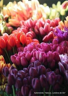 Bunches of Tulips