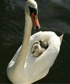 Swan...symbol of true loyalty #kidsandparents #swan #symbol #loyalty #mother #child