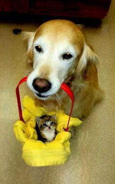 This dog carries a kitten friend around in a basket!