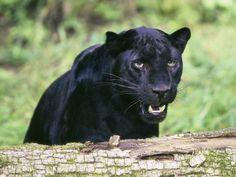 Es un puma negro en estado salvaje que esta vigilando a su presa para en cualquier momento atacar