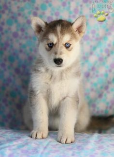 Husky/German Shepherd Mix