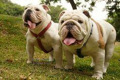 ❤️ Baggy Bulldogs ❤️