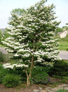 View picture of Doublefile Viburnum, Japanese Snowball Bush 'Summer Snowflake' (Viburnum plicatum var. tomentosum) at Dave's Garden.  All pictures are contributed by our community.