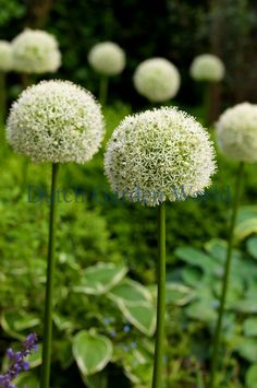 Allium White Giant - Dutch Garden World