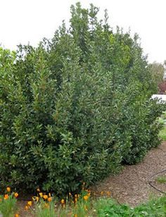 Lauris nobilis (sweet bay, bay laurel). Great, quick growing evergreen screening plant.