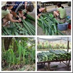 please refer to http://kwgls.wordpress.com  #Nonya Chang #Chang #Rice Dumpling # Singapore # Malaysia #Dragon Boat Festivals #