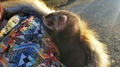 Spirithood ferret