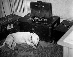 Patton's pet bull terrier Willie lying down next to his deceased master's boxed belongings, Bad Nauheim, Germany, Jan 1946.