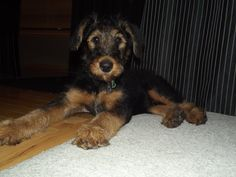 My puppy, Blue (airedale terrier)
