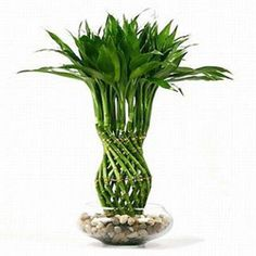So why is Lucky Bamboo considered lucky ? Lucky Bamboo is one of the most popular feng shui cures. You can see feng shui lucky bamboo in most floral shops nowadays. These cute little arrangements in their exotic conta… Bamboo Plant Care, Lucky Bamboo Plants, Chinese Bamboo Plant, Buy Bamboo, Bamboo Tree, Indoor Bamboo, Indoor Plants, Indoor Trees, Indoor Gardening