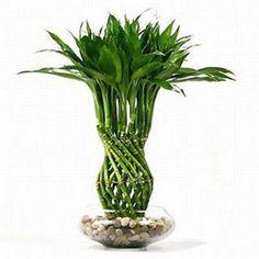 111 Best Lucky Bamboo Images Gardens Indoor Plants Inside Plants