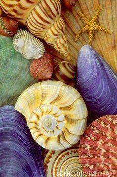 Resultado de imagem para conchas marinhas coloridas