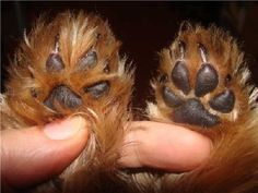 How to trim a yorkie paws