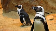Why this scientist is creating test tube penguins in South Africa - CNN Bbc World News, World News Today, Penguin Life, Penguin Species, Ocean Aquarium, African Penguin, Happy 7th Birthday, Cape Town South Africa, Wildlife Conservation