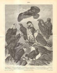 1902 Antique Engraving of Eagles Golden by CabinetOfTreasures