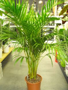 Caring for areca or butterfly palm