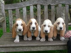 Lemon basset hounds. You soon will be mine!!!