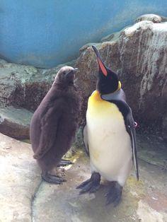 キングペンギンの雛 Twitterでは初公開です!  運が良ければ 見れるかも…!?  #キングペンギン#雛 King Penguin, Hakone, Cute Penguins, Sea Birds, Snow, Twitter, Animals, Penguins, Birds