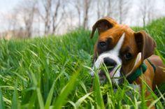 Boxer Pup <3