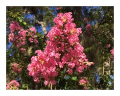 Floral Note Card. Tropical Pink Crepe Myrtle Printed on Premium Matte Large 5 x 7 Folded Card Stock. Perfect for a Personal Greeting. Lovely by VintageArtForLiving on Etsy https://www.etsy.com/listing/467870979/floral-note-card-tropical-pink-crepe