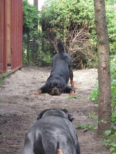 Let's play!  I ♥ Rottweilers - I just love love love these dogs! Hopefully will have one in the next year . . .