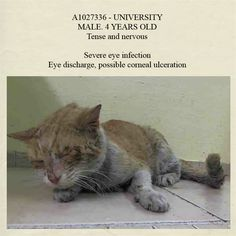 SAFE! URGENT!! AC&C NYC - Manhattan Center. * Please foster, adopt or pledge to help save 'University' now! This poor kitty deserves a chance!! *   A1027336 - UNIVERSITY http://www.petharbor.com/pet.asp?uaid=NWYK.A1027336  MALE, ORANGE / WHITE, DOMESTIC SH,4 yrs  STRAY    Intake condition ILLNESS Intake Date 02/06/2015, From NY 10467