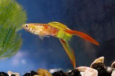 Lyretail guppy Nano Aquarium, Tropical Aquarium, Freshwater Aquarium Fish, Aquarium Fish Tank, Tropical Fish, Fish Tank Design, Guppy, Underwater World, Under The Sea