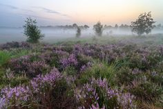 "https://flic.kr/p/ae3Tbn | Heathland in the Mist 1 | It's heather time again! I always love to take photographs of the blooming heather. Guess I like the purple color. I was lucky enough to notice the prediction of a foggy morning, so there could not be any doubt. I just had to get up that morning!  Better viewed at my website: <a href=""http://joepdegroot.nl/index.php?showimage=165"" rel=""nofollow"">Joepdegroot.nl</a>"