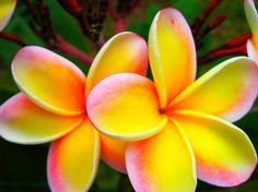 Plumeria- Favorite flower right here. :) 5 petals- Faith, Sincerity, Aspiration, Devotion, Surrender