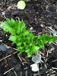 grow celery from stalk