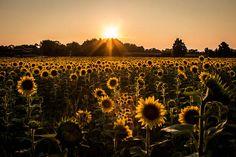 Sunflowers Forever, Sunflower Field Photo http://fineartamerica.com/featured/sunflowers-forever-sara-frank.html