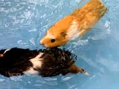 REPIN FOR THIS INFO: Never put a Guinea Pig in a swimming situation unless there is a ramp/platform they can easily get onto themselves... these guinea pigs may very well be terrified & moving quickly because they are frantic... This may be unintentionally cruel.