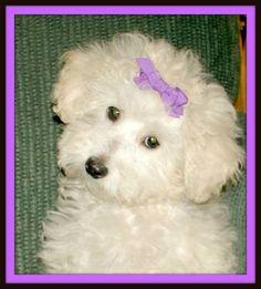 Purebred Miniature Poodle
