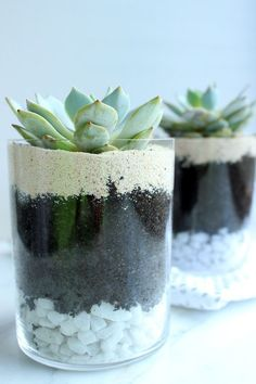 Tiny Green Layered Succulent Plants in Terrarium Mason Jar -  White Pebble, Pot,