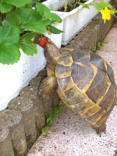Turtle eating strawberry ..