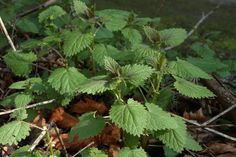 Foraging for Nettles time!  ~ Tea & Cookies