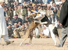 "its horrible how man has forced there ""best friends"" into becoming killing machines for there enjoyment...Pakistan."
