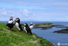 puffings playing in early may on the island called Lunga in Scotland